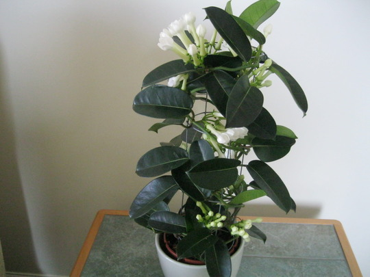 Stephanotis..