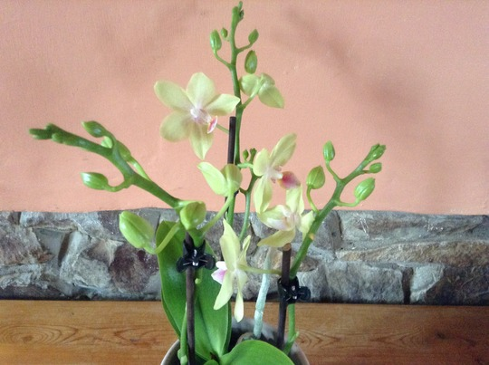 My new tiny orchid.