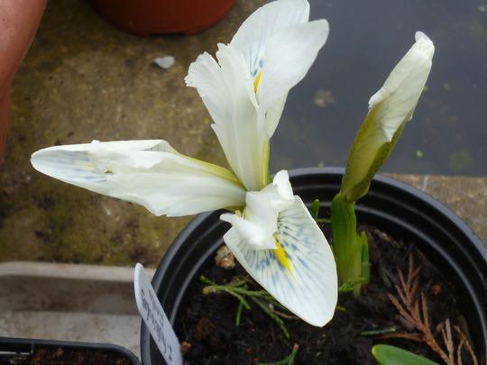 Iris histriodes 'Finola' (Iris histriodes 'Finola')