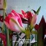 Amaryllis 'Pinky' just opening on living room table 05-03-2015 001 (Amaryllis Hippeastrum)