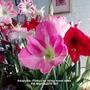 Amaryllis 'Pinky' on living room table 08-03-2015 001 (Amaryllis Hippeastrum)