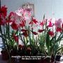 Amaryllis on living room table (20 pots) 08-03-2015 001 (Amaryllis Hippeastrum)
