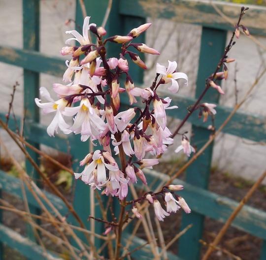 Abeliophyllum distichum - 2015 (Abeliophyllum distichum)