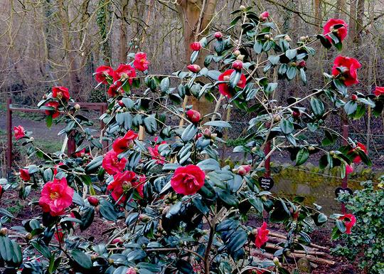 Camellia 8-3-2015