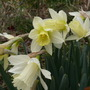 Unexpected daffodils