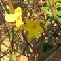 Winter Flowering Jasmine  (Jasminum nudiflorum (Winter jasmine))