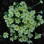 A good clump of Primula vulgaris.... (Primula vulgaris (Native primrose))
