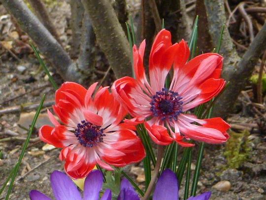 Anemone Coronaria St. Brigid