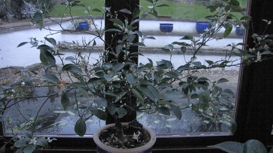 Orange tree (Calamondin)