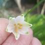 First Snowflake (Leucojum vernum (Spring snowflake))