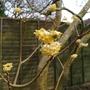 Edgeworthia chrysantha - 2015 (Edgeworthia chrysantha)