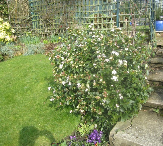 This hasn't been without a flower for over a year now. (Viburnum tinus)