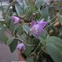 Dendrobium kingianum - Pink Rock Orchid (Dendrobium kingianum - Pink Rock Orchid)