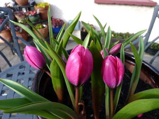 Little pot of species tulips almost open now. (Tulipa hageri 'Little Beauty')