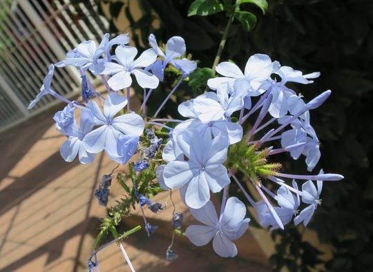 Plumbago auriculata (Plumbago auriculata)