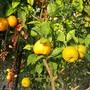 Sour_oranges