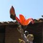 Flower of Ceiba tree (Ceiba chodatii)