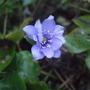 Hepatica nobilis (Hepatica nobilis)