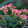 "Saxifraga ""Paul Gauguin"" (Saxifraga aizoides (Evergreen Saxifrage))"