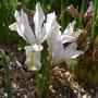 Iris_reticulata_white_caucasus_2015