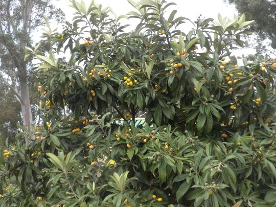 Eriobotrya japonica - Loquat Tree (Eriobotrya japonica - Loquat Tree)