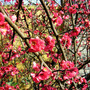 Quince in flower