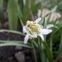 Snowdrop_150301