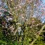 Prunus Cerasifera 'Niga'