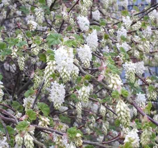 Ribes Sanguineum 'White Icicle' (Ribes sanguineum (Flowering currant))