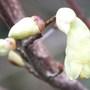 Corylopsis Pauciflora (Corylopsis pauciflora (Winter hazel))