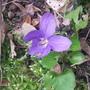 First Violet