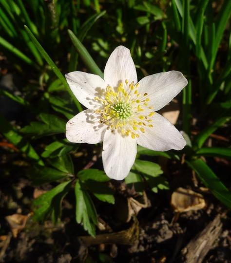 Anemone sylvestris - 2015 (Anemone sylvestris)