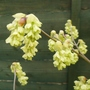 Corylopsis_veitchiana_close_up_2015