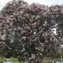 Calodendron capense - Cape Chestnut Flowering (Calodendron capense - Cape Chestnut Tree)