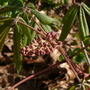Red buckeye buds