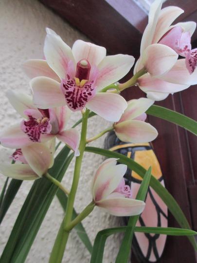 Cream and maroon Cymbidium, flowering end Feb. (Orchis  Cymbidium)