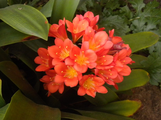 Common Clivia Flowers (Clivia)