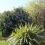 Viburnum Tinus 'Eve Price', Ribes 'White Icicle' and Phormium 'Moonraker' (phormium)