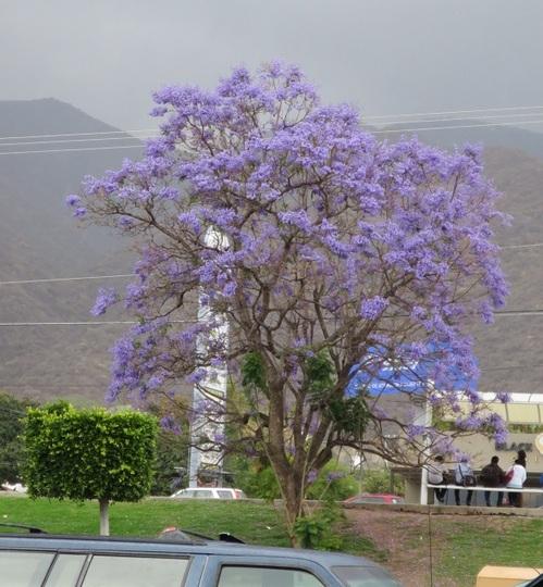 Jacaranda tree (Jacaranda)
