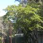 Calodrondron capense - Cape Chestnut  (Calodrondron capense - Cape Chestnut)