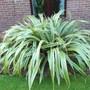 Phormium Cookianum 'Tricolor' (Phormium cookianum (Mountain flax))