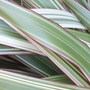 Phormium Cookianum 'Tricolor' for Dawn :-) (Phormium cookianum (Mountain flax))
