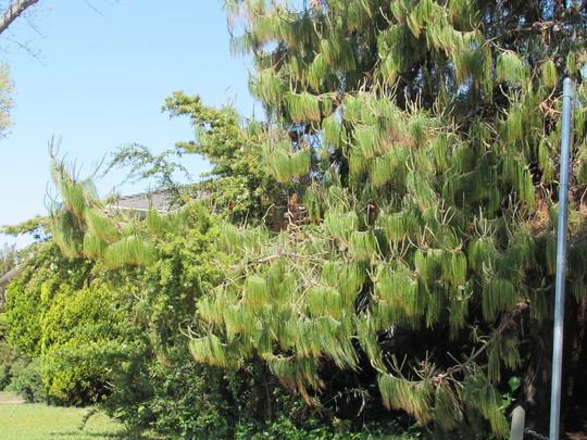 Pinus patula needles. (Pinus patula (Jelecote Pine))