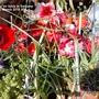 Amaryllis_on_table_in_balcony_24_03_2015_006