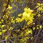 Forsythia in flower