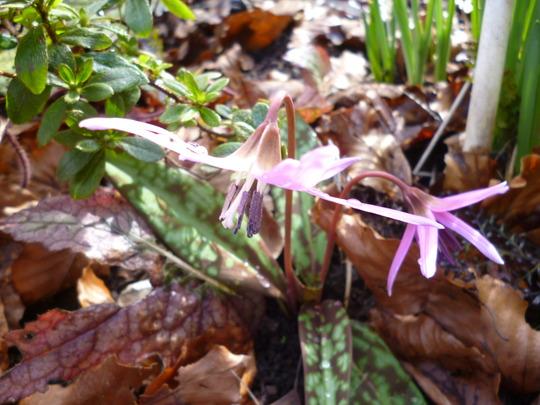Erythronium dens-canis 'Purple King' (Erythronium dens canis 'Purple King')