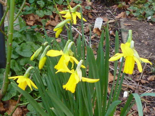February Gold (Narcisus 'February Gold')