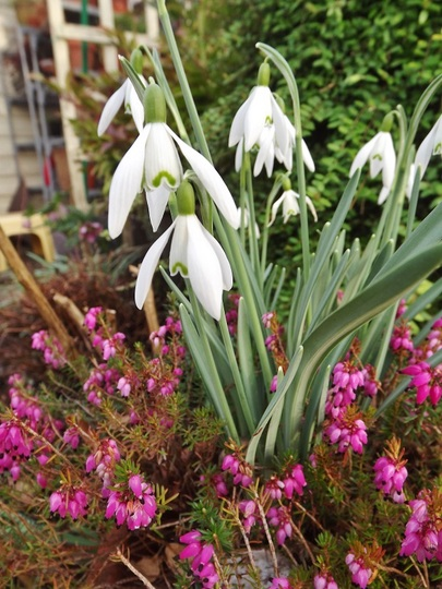 Galanthus nivalis and Calluna vulgaris