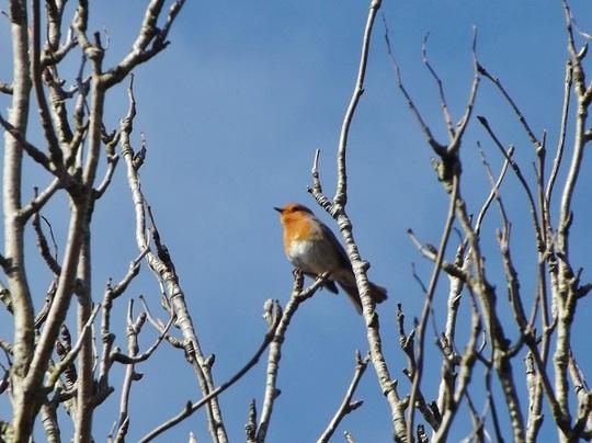Robbin in a tree, at Gwynfe ...