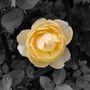 Yell_rose